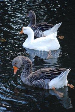 jeff-bxw-swans